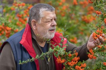 Outdoor portrait of bearded senior man admiring Pyracantha shrub with orange berries in fall garden