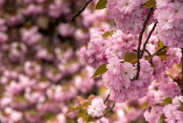 beautiful spring background with cherry blossom. pink tender buds on branches