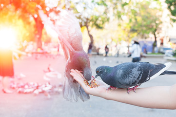 Pigeon eating from woman hand on the park,feeding pigeons in the park at the day time