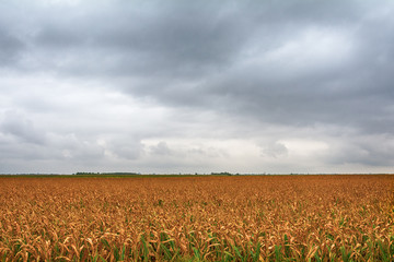 a beautiful field of corn and a crazy sky