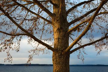 Grey alder Alnus Incana at winter near lake