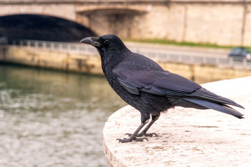 Raven in Paris