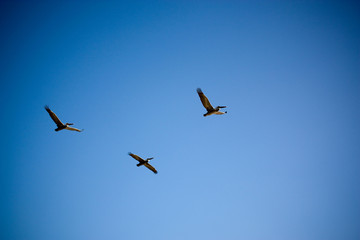 Three Pelicans Flying In Clear Sky