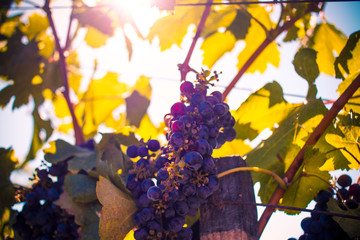 Sun Shining on Wine Grapes