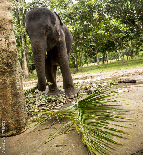 Elephant is eating a grass. Elephant is eating a grass in a wild.
