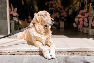 Golden retriever dog lying in front of open store. Alghero. Sardinia. Italy.