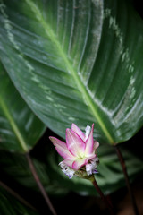 Korbmarante (Calathea medaillon)