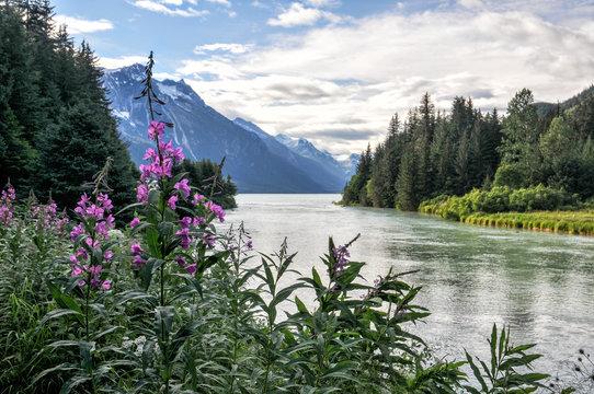 Fireweed Alaska