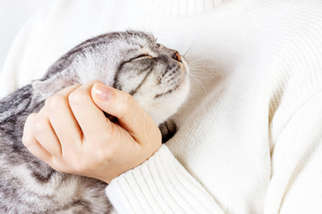 Happy kitten likes being stroked by woman's hand. The British Shorthair. Scottish kitten