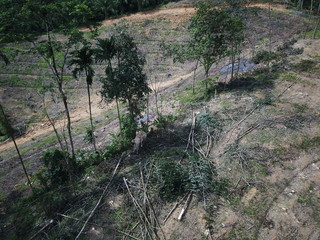 Deforestation. Rainforest trees cut down to make way for oil palm plantations. Elephant used to knock down trees