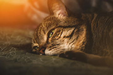 The cat lies with a sad look