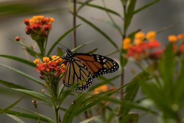 Monarch butterfly feeding on milkweed