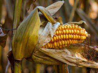 Exposed Corn Cob on Stalk in Autumn