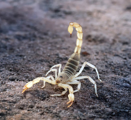 Hadrurus arizonensis, the giant desert hairy scorpion, giant hairy scorpion, or Arizona Desert hairy scorpion in a threatening pose