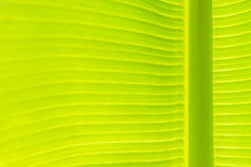 Banana leaf background with copy space