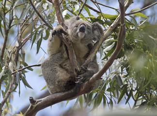 Koala resting at the top of an Australian gum tree.