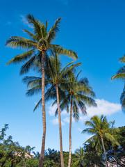 Hawaiian Coconut Palm Trees in Waikiki, Honolulu, Hawaii, USA