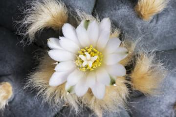 Macro flower lophophora williamsii var. texana cactus
