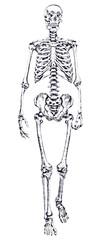 single human skeleton sketch