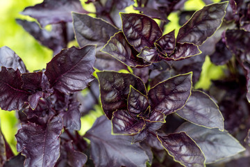 Bright purple basil in the garden. Top view