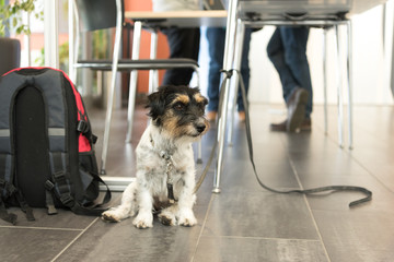 Dog is relaxing and waiting in a public building - Jack Russell Terrier 3 years old