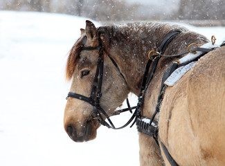 Portrait of a horse harnessed in a sledge on Christmas morning