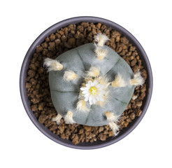 Macro cactus flower lophophora williamsii var. texana isolated on white background