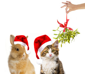 cute little long haired maine cat and rabbit with santa cap