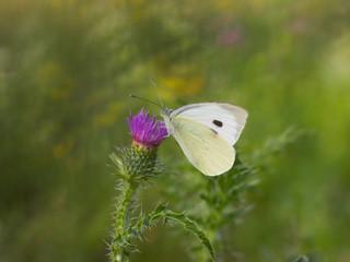 Beautiful butterfly on a meadow