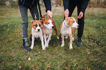 Three cute puppies of the American Staffordshire Terrier walk in the autumn park with their master. Dogs from the same litter.
