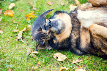 Dogs and little kittens are best friends playing together outdoors. Lying on the grass in the fall