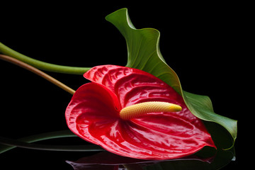Red Anthurium.