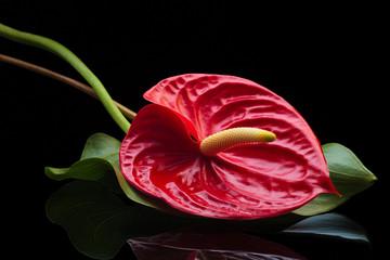 Red Anthurium.
