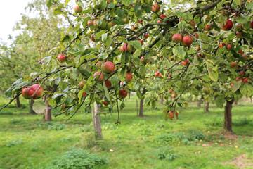Apfelbaum in Plantage