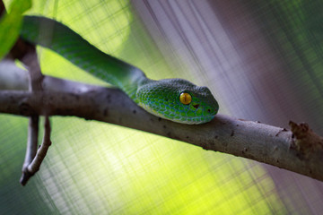 Image of Snake, green tree viper,Cameron Highland pit viper,Trimeresurus Nebularis on the branch. Reptile.