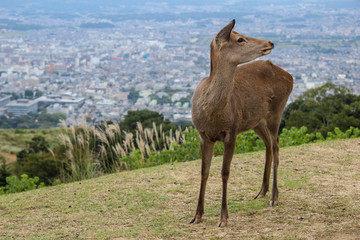 Nara town in Japan. Famous for history and wild deer