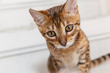Bengali kitten, Bengali kitten with a funny face, a kitten looks after a toy
