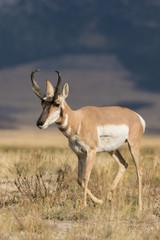 Poster de jardin Antilope Pronghorn Antelope buck on the Prairie