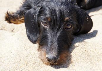 Cane bassotto sulla Spiaggia di Sabaudia, italia