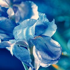 Iris flowers in the garden.