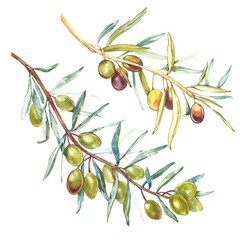 A branch of ripe green olives. Watercolor and botanical illustration isolated on white background. Elements for decorating the design of packaging.