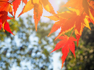 Red autumn maple leaf in Japan