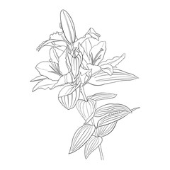 vector drawing flower of lily