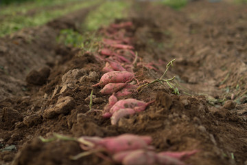 Harvesting sweet potato at organic farm