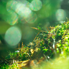 Close up of green moss. Sunlight in dark forest. Macro. Blurred background