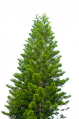 Big and green christmas tree isolated on white background with clipping path.