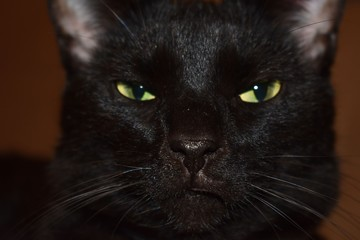 close up of head of angry back cat yellow eyes