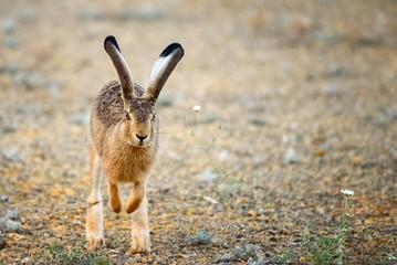 European hare runs at the camera