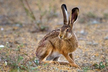 European hare stands on the ground and looking at the camera