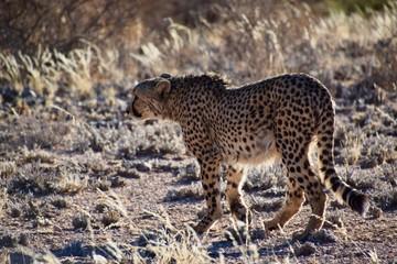 Wild lebende Tiere - Gepard - Wüste